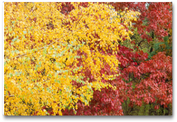 Plakat - Background of the birch and red oak with autumn leaves