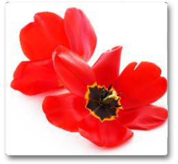 Plakat - Closeup of fully bloomed tulip