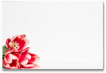 Plakat - red tulips on white background. flora botany and spring. beautiful flower assortment on mothers or womens day. free space concept.