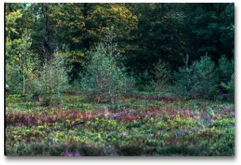 Plakat - Young birch trees in moorland.