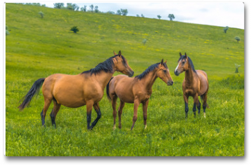 Plakat - Horses in the steppe. Pets graze in the spring steppe.
