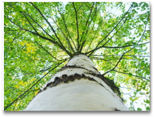 Plakat - A birch tree with green leaves is a view from below on the crown