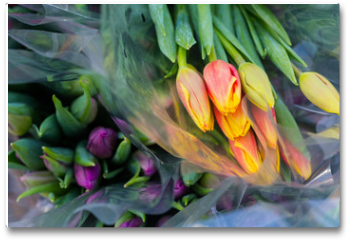Plakat - Tulip. Beautiful bouquet of tulips. Colorful tulips. Flower plants cultivation in greenhouse