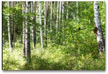 Plakat - Randonnée en forêt de bouleaux sur le Great Baïkal trail