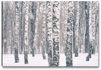 Plakat - Birch forest at winter snowstorm