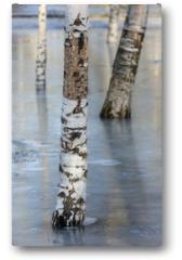 Plakat - birch in the park