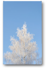 Plakat - Birch tree covered with hoarfrost