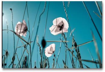 Plakat - Mohnblumen Papaver rhoeas