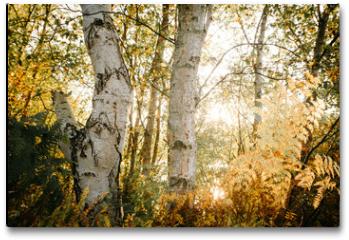 Plakat - Birch Bark and Leaves in the Sunlight