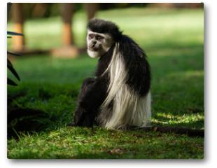 Plakat - Black and white Colobus Monkey