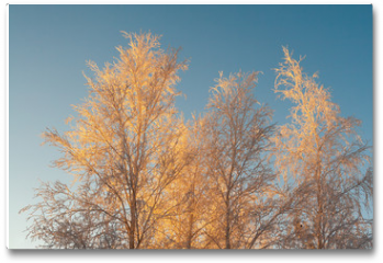 Plakat - The upper part of the tree, covered with beautiful white frost, against the bright blue sky in the rays of the sunset .