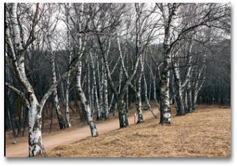 Plakat - Trees birch forest.