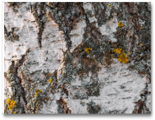 Plakat - texture of the tree bark of a birch close up