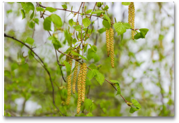 Plakat - Birch branches with young leaves and catkins on blurred background