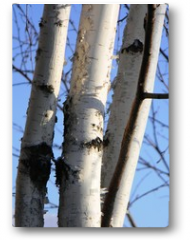 Plakat - birch on sky background