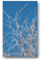 Plakat - birch branches in the snow