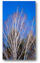 Plakat - Birch branches in the background of blue sky in the early spring_