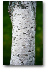 Plakat - Closeup of Birch Tree Bark