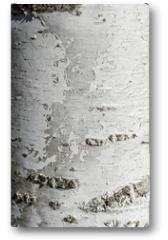 Plakat - Silver Birch Tree Texture