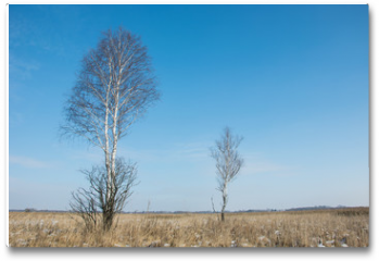 Plakat - Two birches in the meadow with dry grasses, snow and blue sky