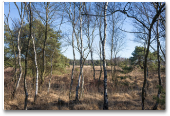 """Plakat - Landscape with birch trees and heath in spring at nature reserve """"Cartierheide"""", Netherlands"""