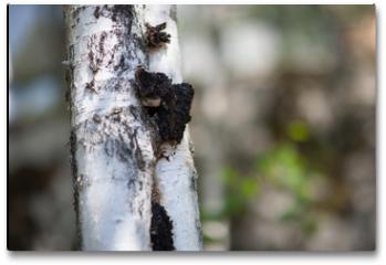 Plakat - Chaga Mushroom on a Birch