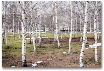 Plakat - Bare birch trees. A birch tree forest in early spring. Path, forest background