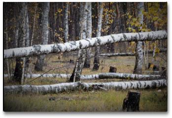 Plakat - Fallen trees in the autumn birch grove