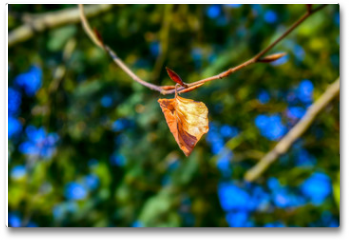 Plakat - Detail of the contrast between a dry birch leaf from the last autumn and a young shoot from the New Year on the same branch in the sunlight.