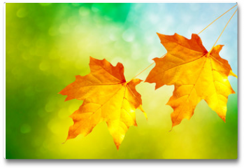 Plakat - autumn landscape with bright colorful foliage. Indian summer.