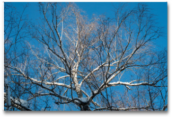 Plakat - Spreading crown of birch without leaves against the blue sky.