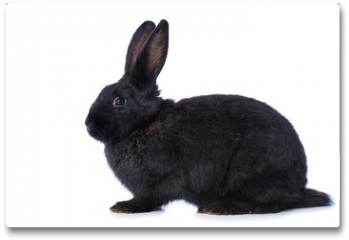 Plakat - Black rabbit on white background