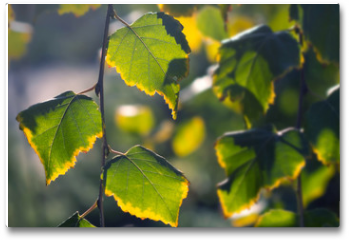 Plakat - Birch branches with colorful autumn leaves in sunlight. Autumn in the park: yellow green birch tree leaves in the sunlight
