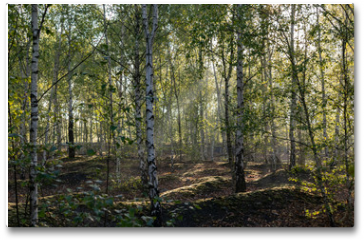 Plakat - Nature and landscape concept: view of the birch forest in the morning.
