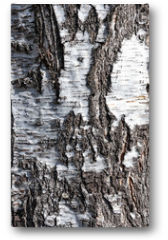 Plakat - Texture of old birch tree in close-up (high details).