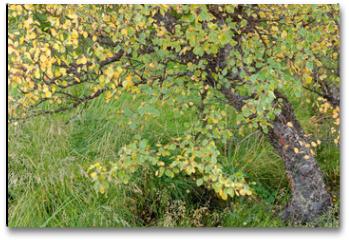 Plakat - Birke (Betula) im Herbstkleid, Island