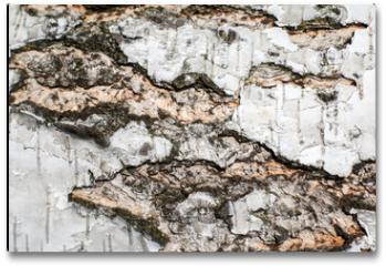 Plakat - white birch bark. wood texture. background