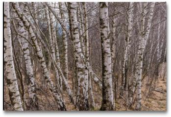 Plakat - Birkenwald am Hochmnoor