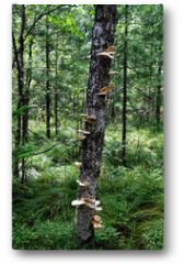 Plakat - Chaga mushroom