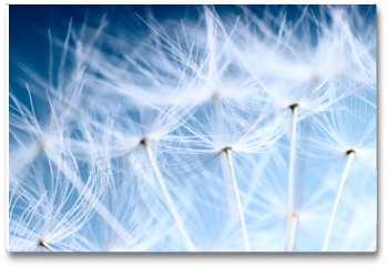 Plakat - The Dandelion background. Macro photo of dandelion seeds.