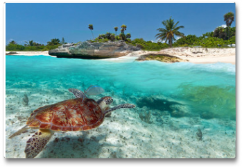 Plakat - Caribbean Sea scenery with green turtle in Mexico