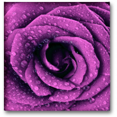 Plakat - Purple dark rose background