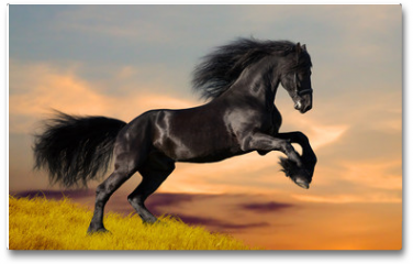 Plakat - Black Friesian horse gallops in sunset