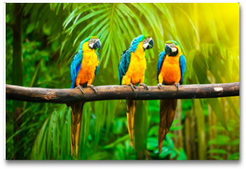 Plakat - Blue-and-Yellow Macaw