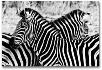 Plakat - Zebras in Kruger National Park, South Africa