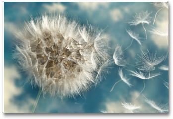 Plakat - Dandelion Loosing Seeds in the Wind