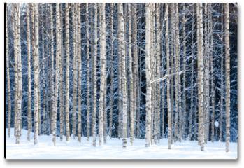 Plakat - Snowy birches