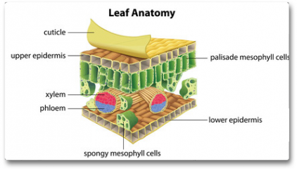 Plakat - Structure of a leaf