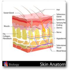 Plakat - Skin Anatomy