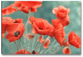 Plakat - red poppy flowers